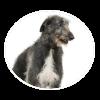 Scottish Deerhound circle