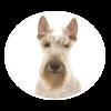 Scottish Terrier circle