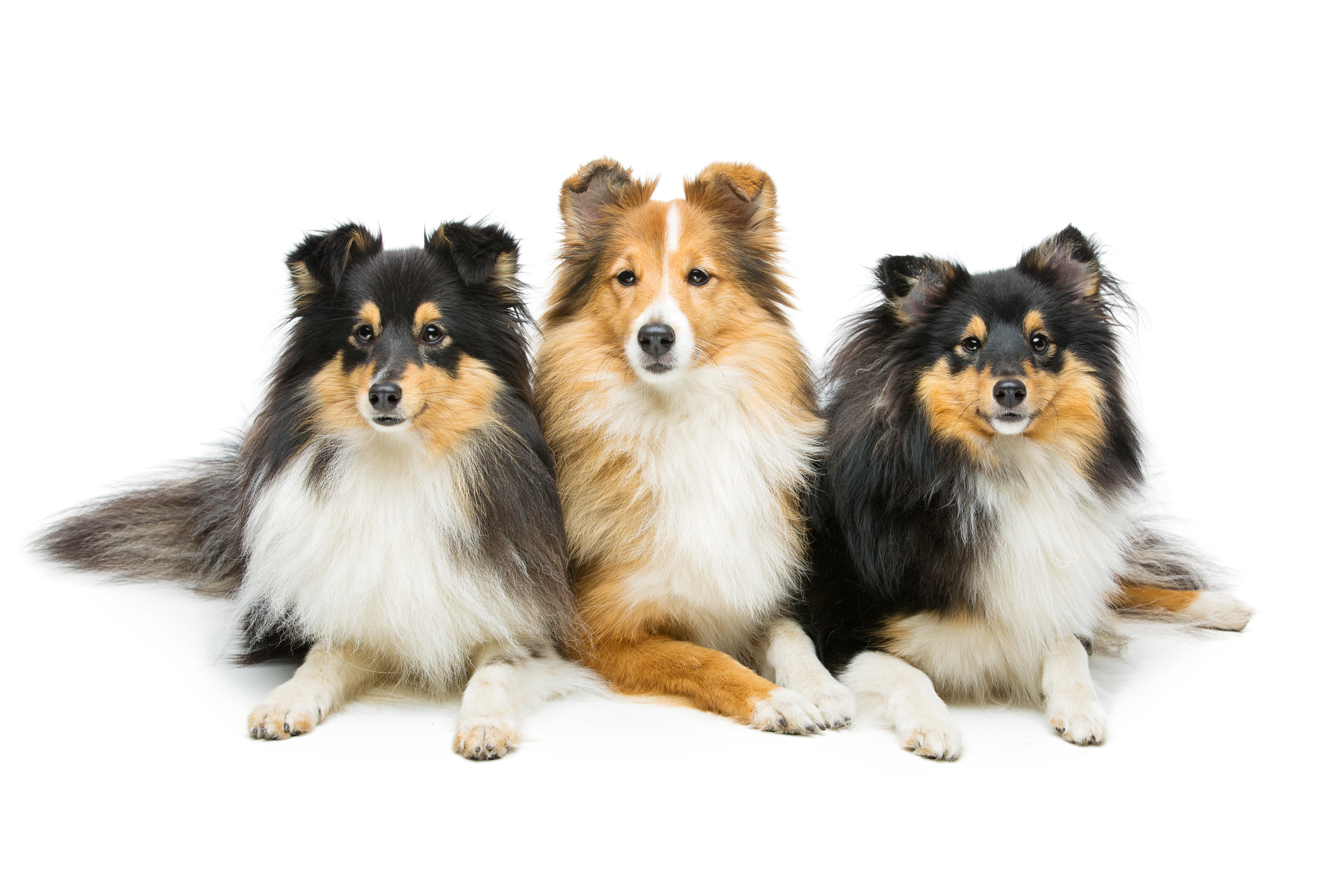 Three Shetland Sheepdogs lying down in front of white background