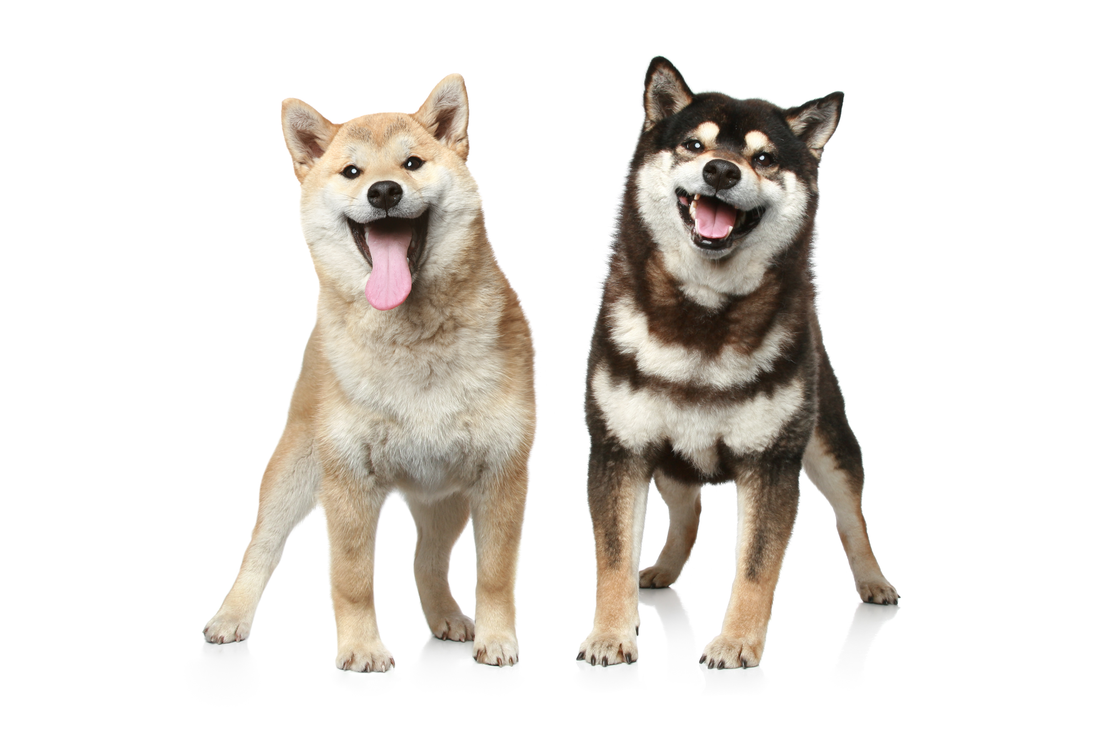 Two Shiba Inu dogs standing in front of a white background