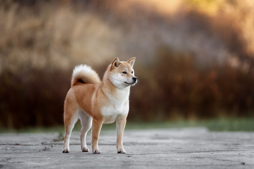 Red Shiba Inu dog standing on a path in the park.