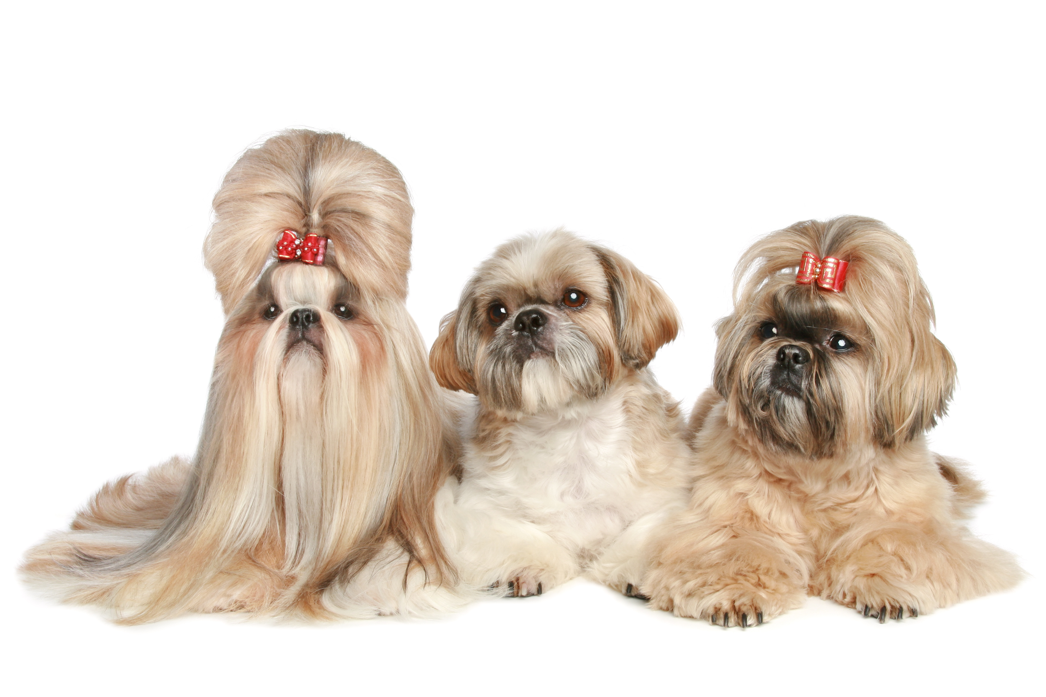 Three Shih Tzus lying down in front of white background