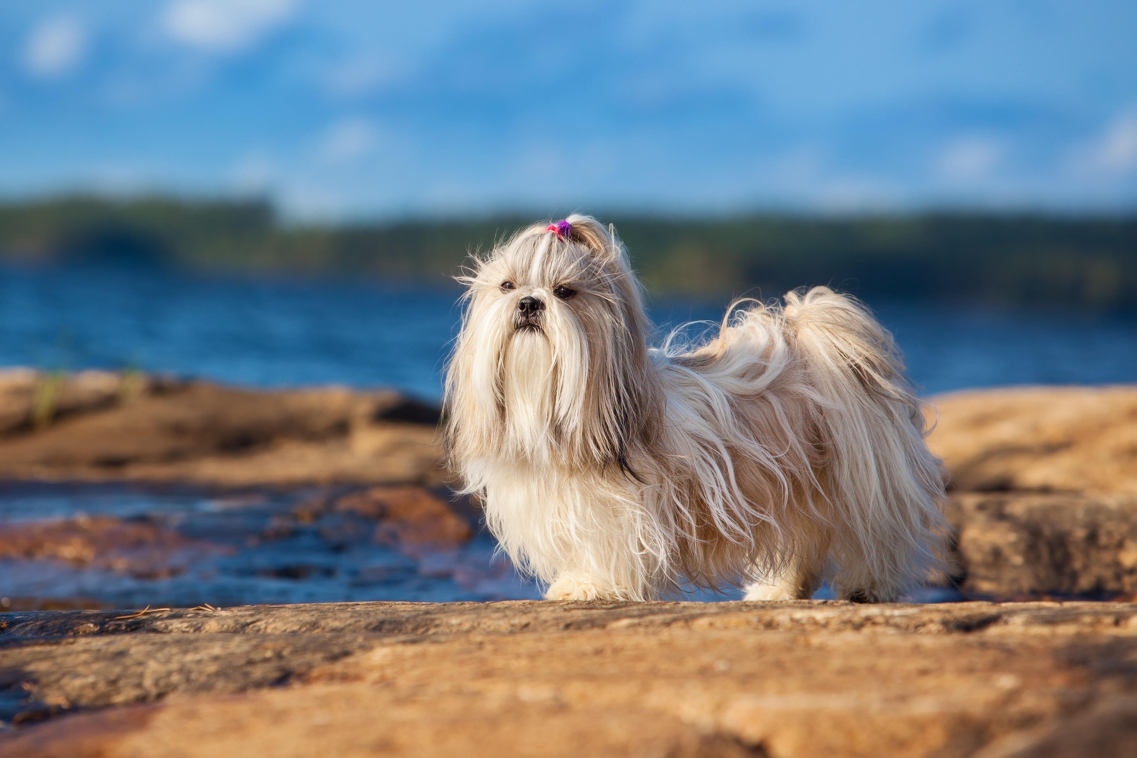 White Shih Tzu dog with red bow standing in profile on rocks by the ocean