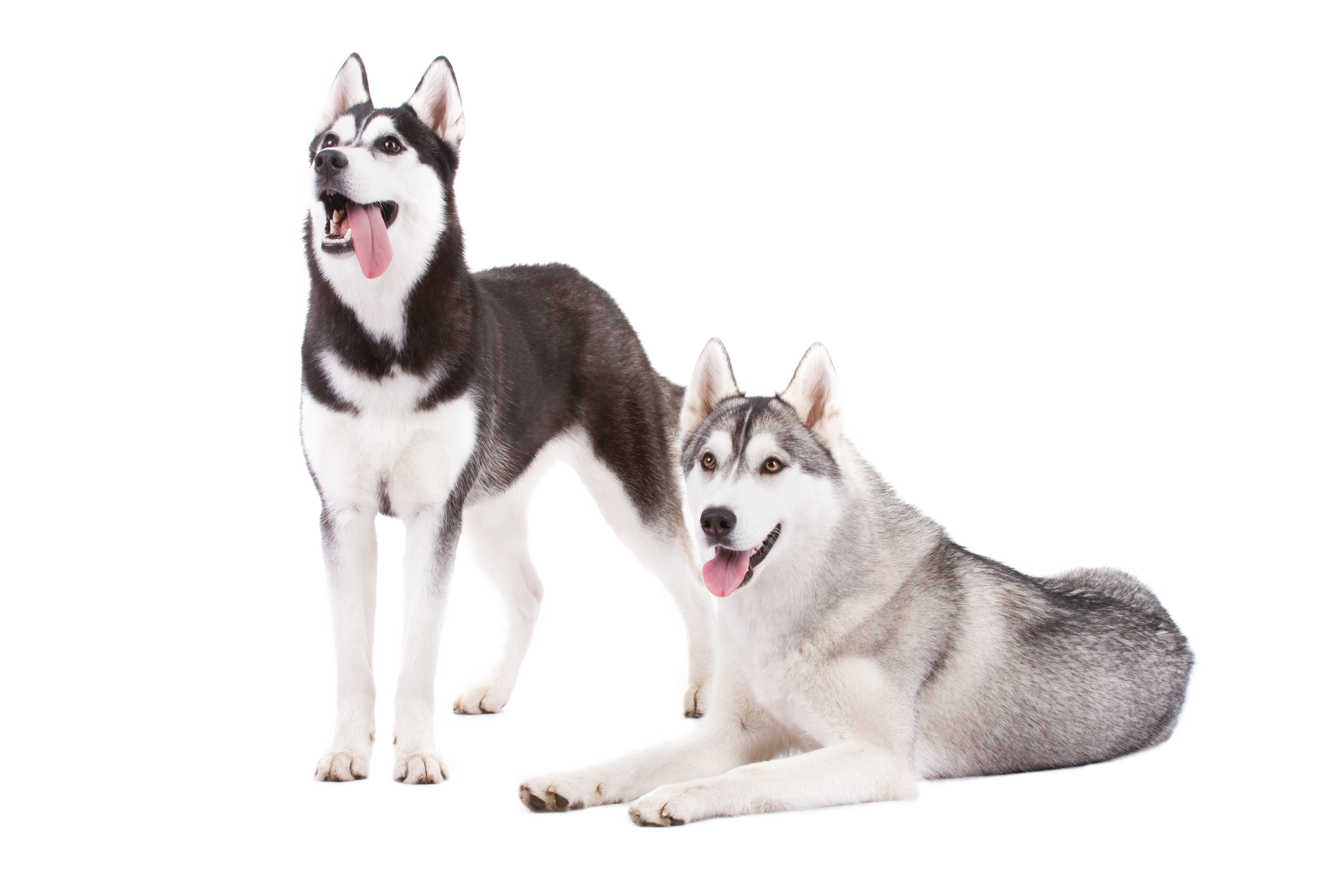Two Siberian Huskies (one standing and one lying down) in front of white background