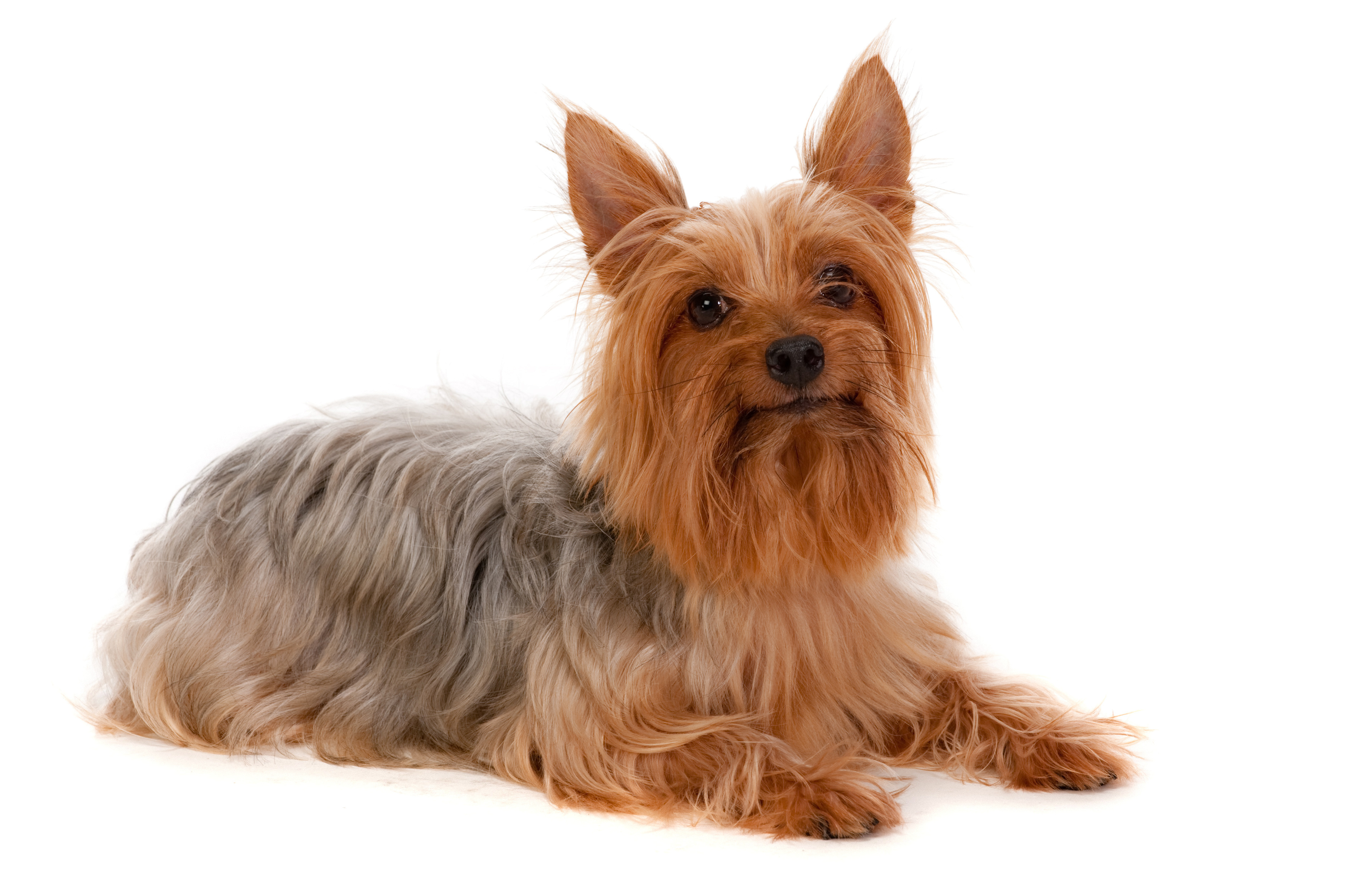 Silky Terrier lying down in front of white background