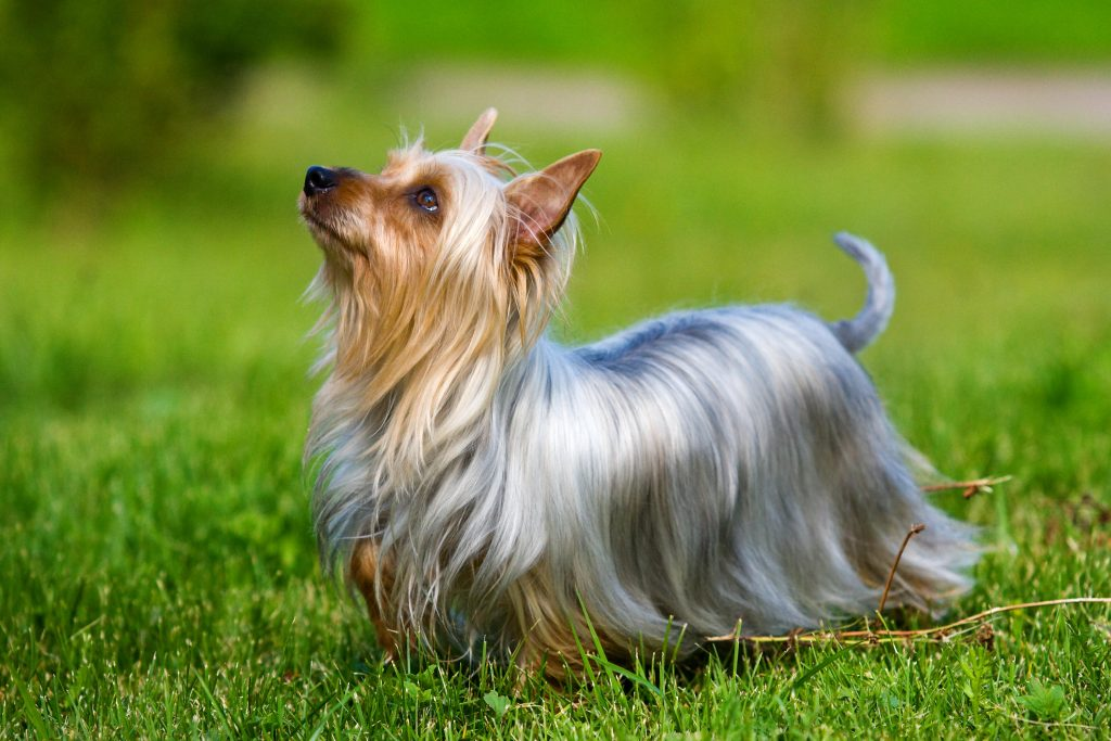 Profile of a Silky Terrier dog staring upwards while standing in grass