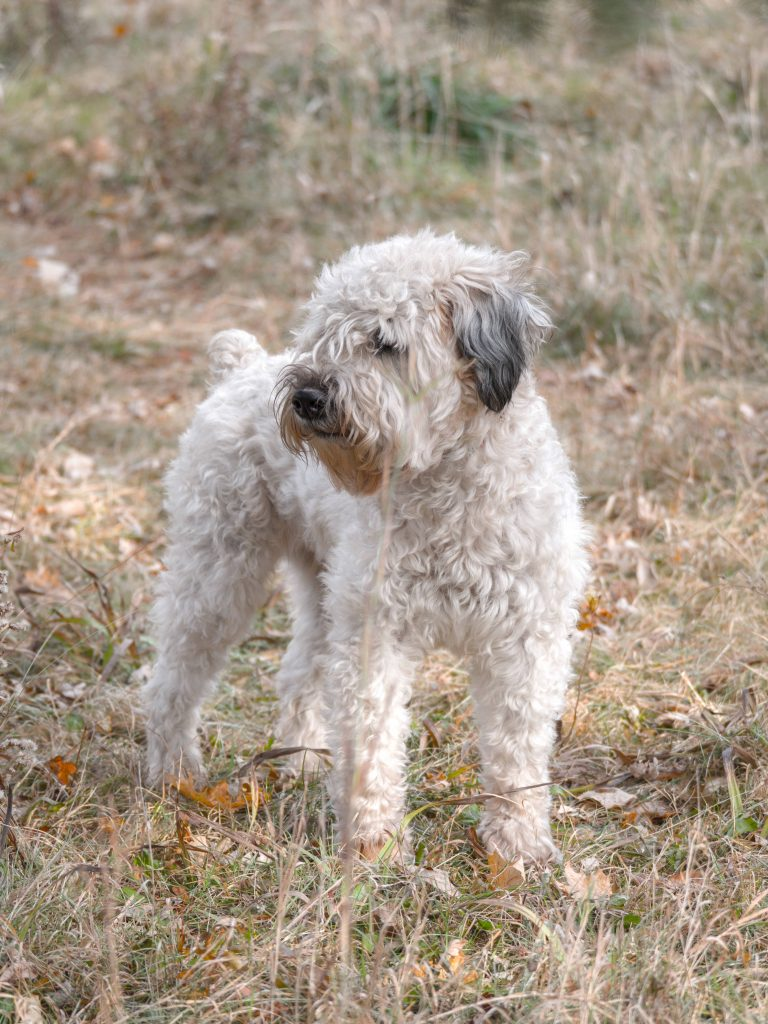 Soft Coated Wheaten Terrier dog standing in dried grass