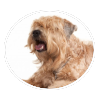 Soft Coated Wheaten Terrier circle