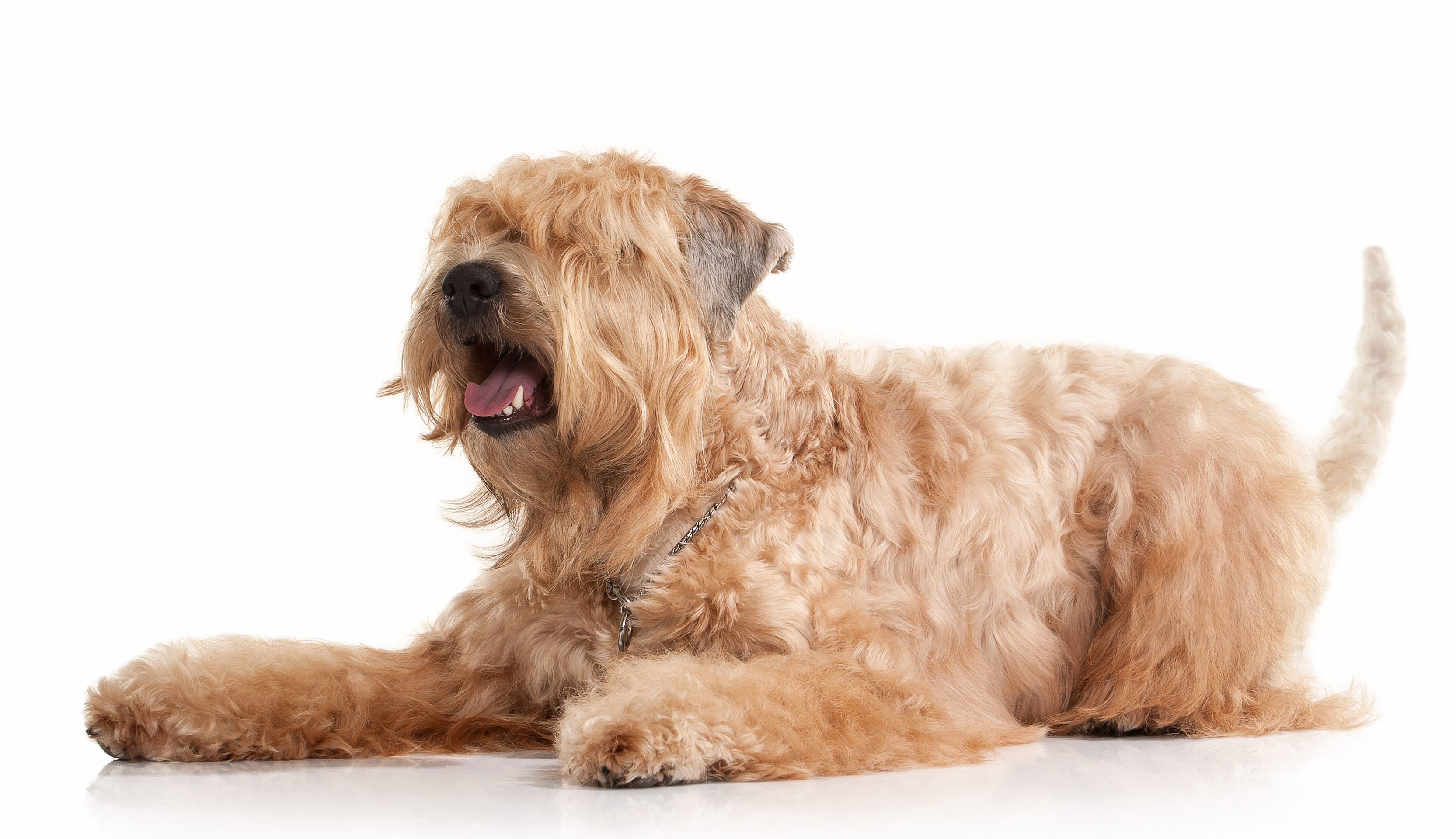 Soft Coated Wheaten Terrier lying down in front of white background