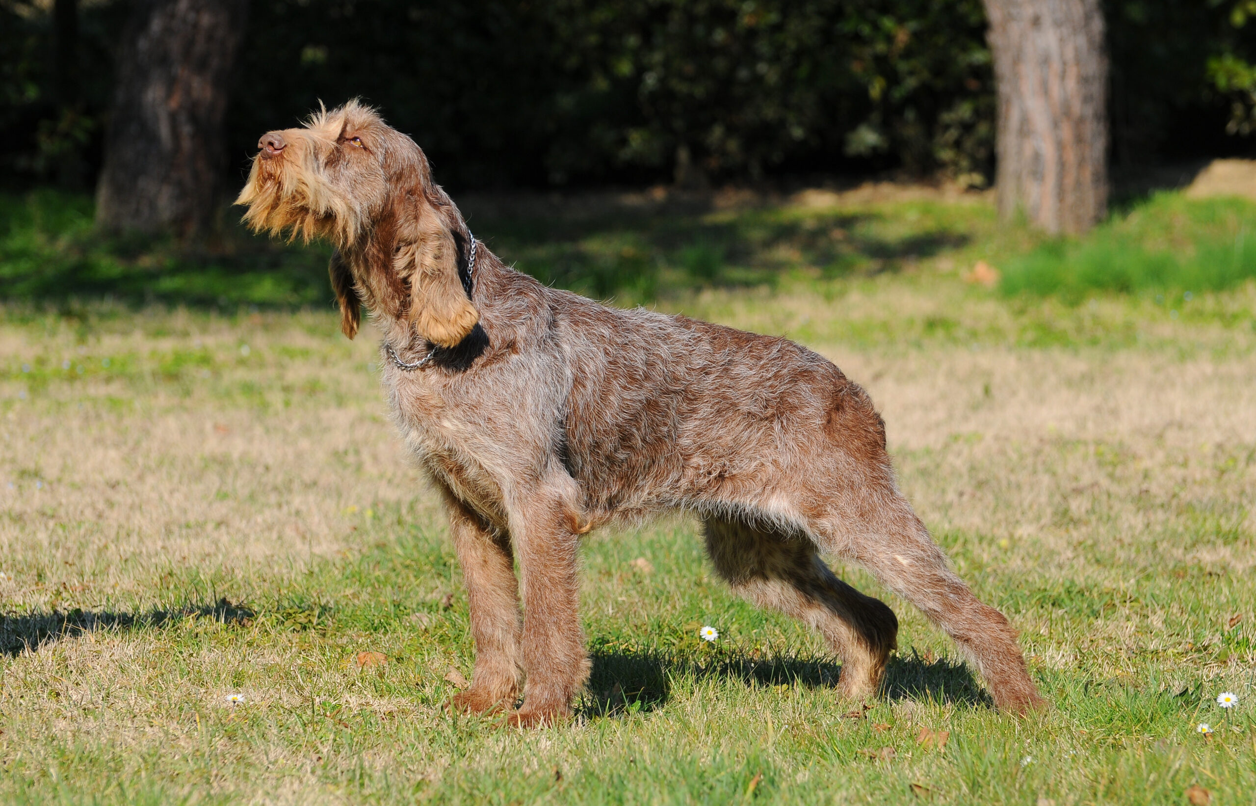 Brown Spinone Italiano dog standing outside in a grassy yard