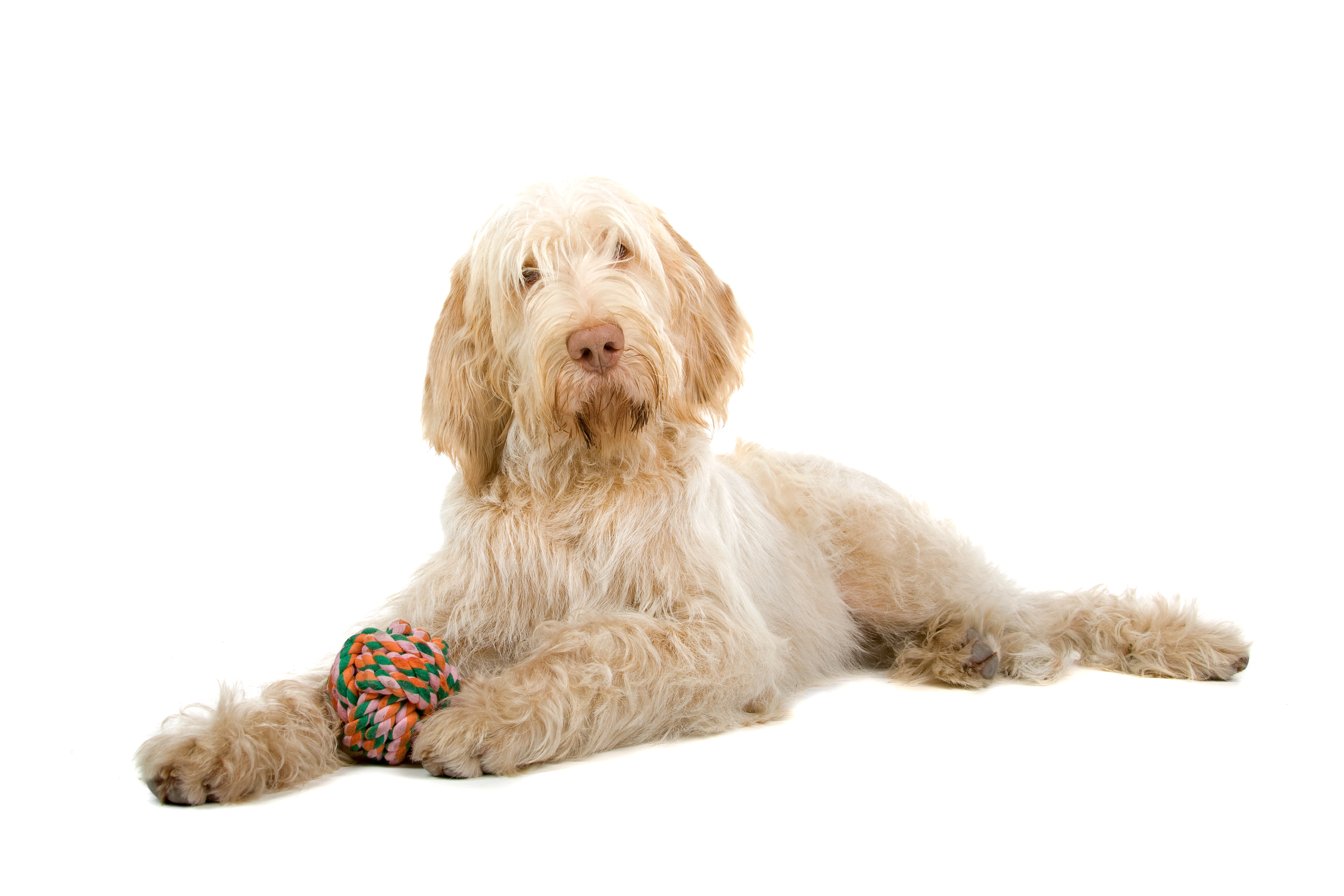 Spinone Italiano dog lying down in front of white background
