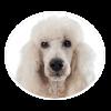 Standard Poodle circle