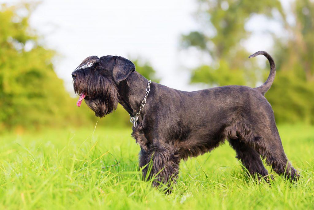 Profile of black Standard Schnauzer standing in a field of grass
