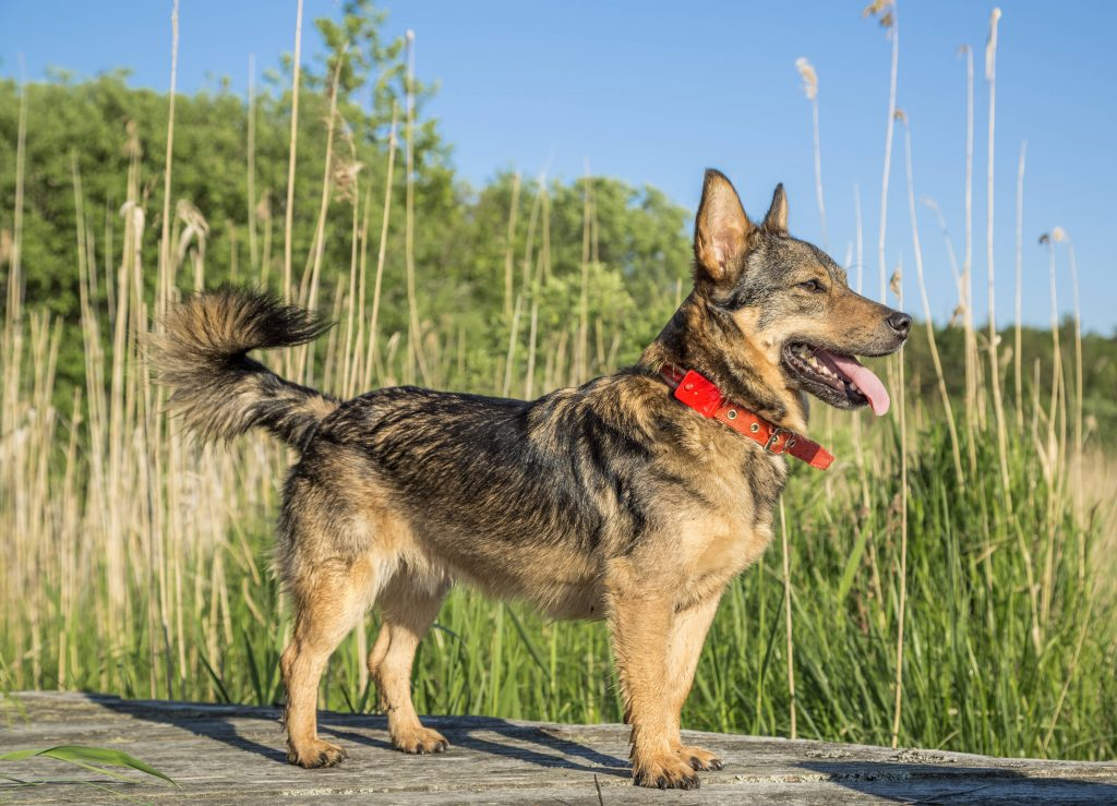 Swedish Vallhund dog in red collar standing on dock by edge of water