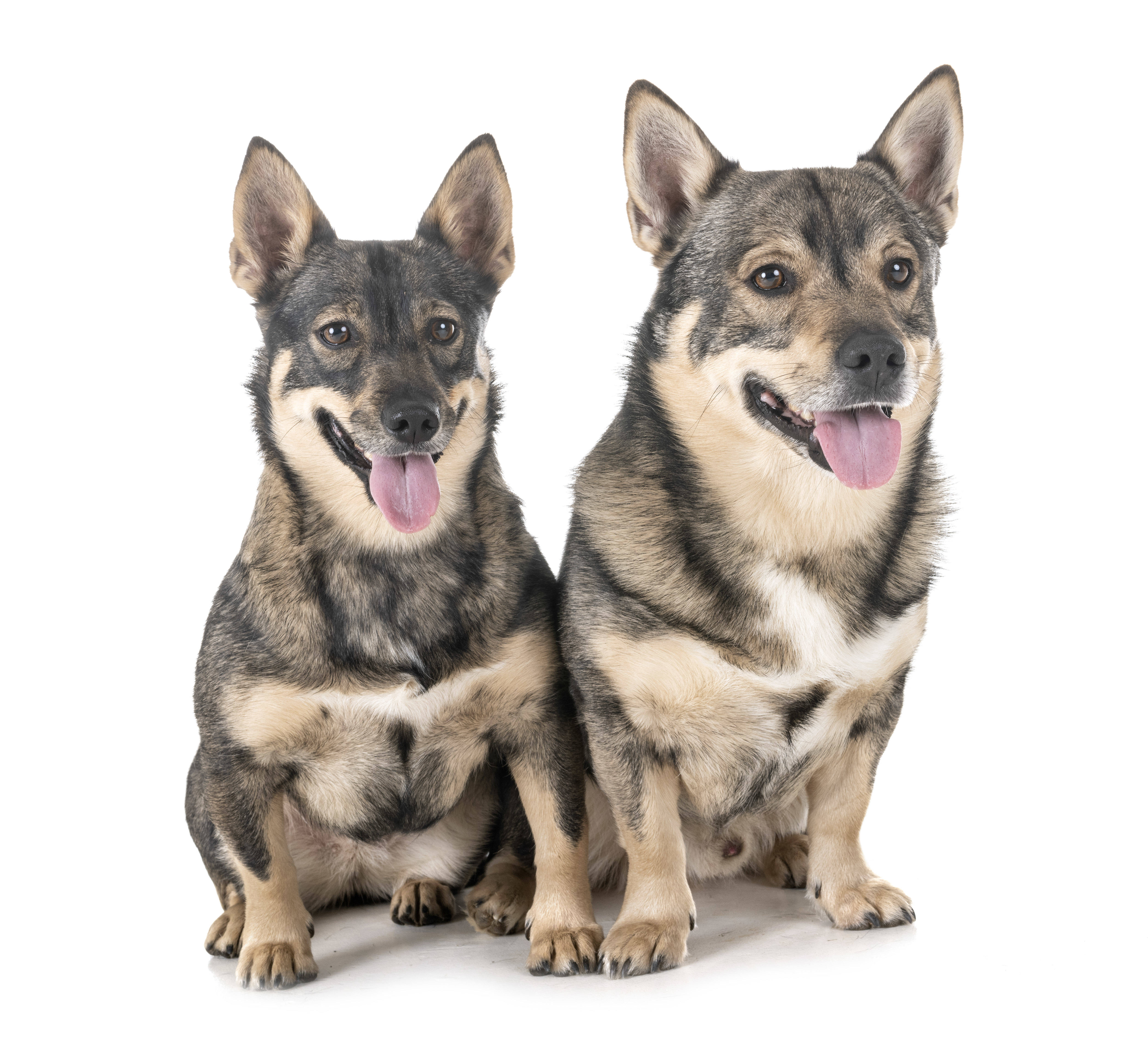 Two Swedish Vallhunds in front of white background