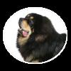 Tibetan Mastiff circle