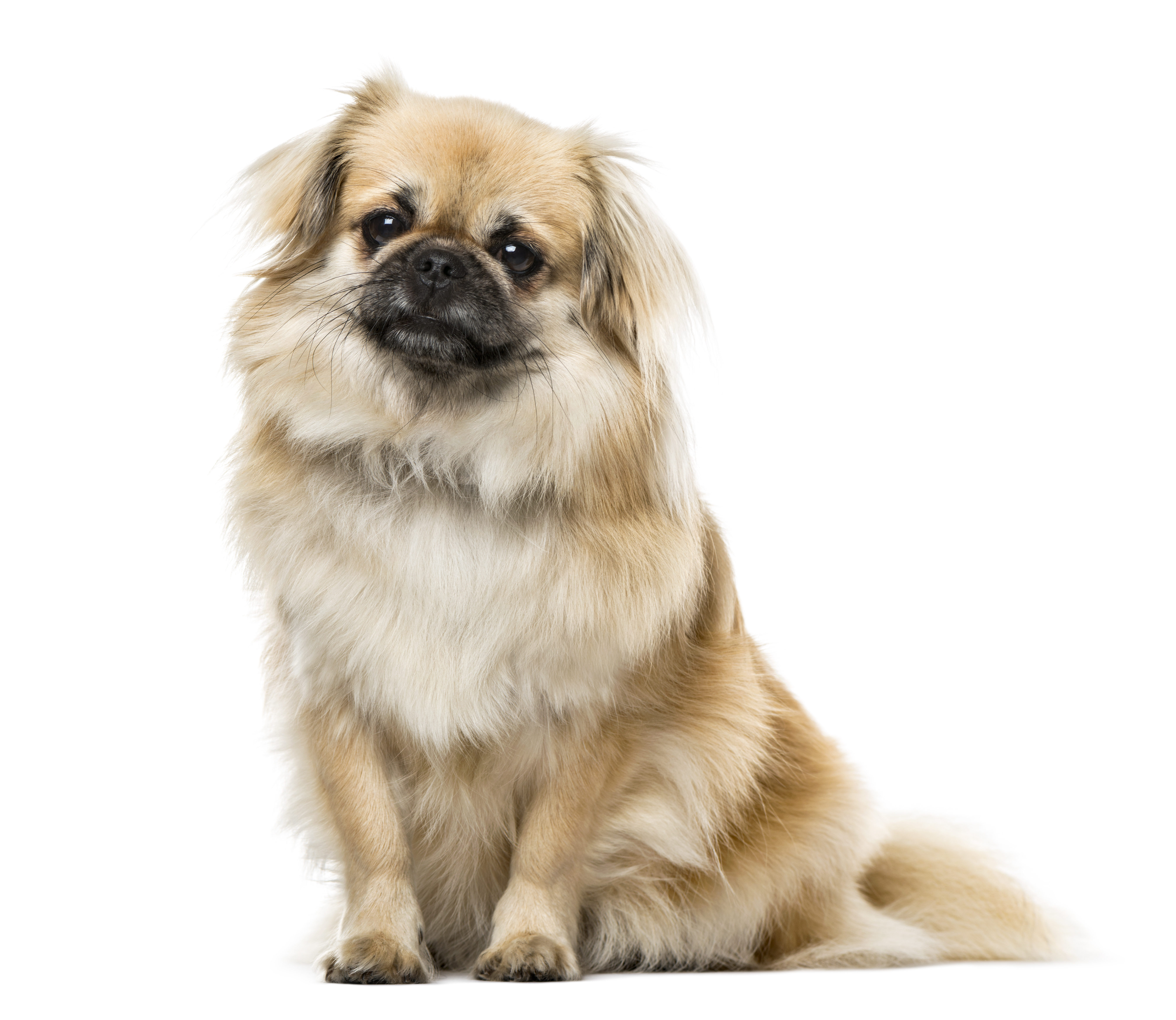Tibetan Spaniel sitting in front of white background