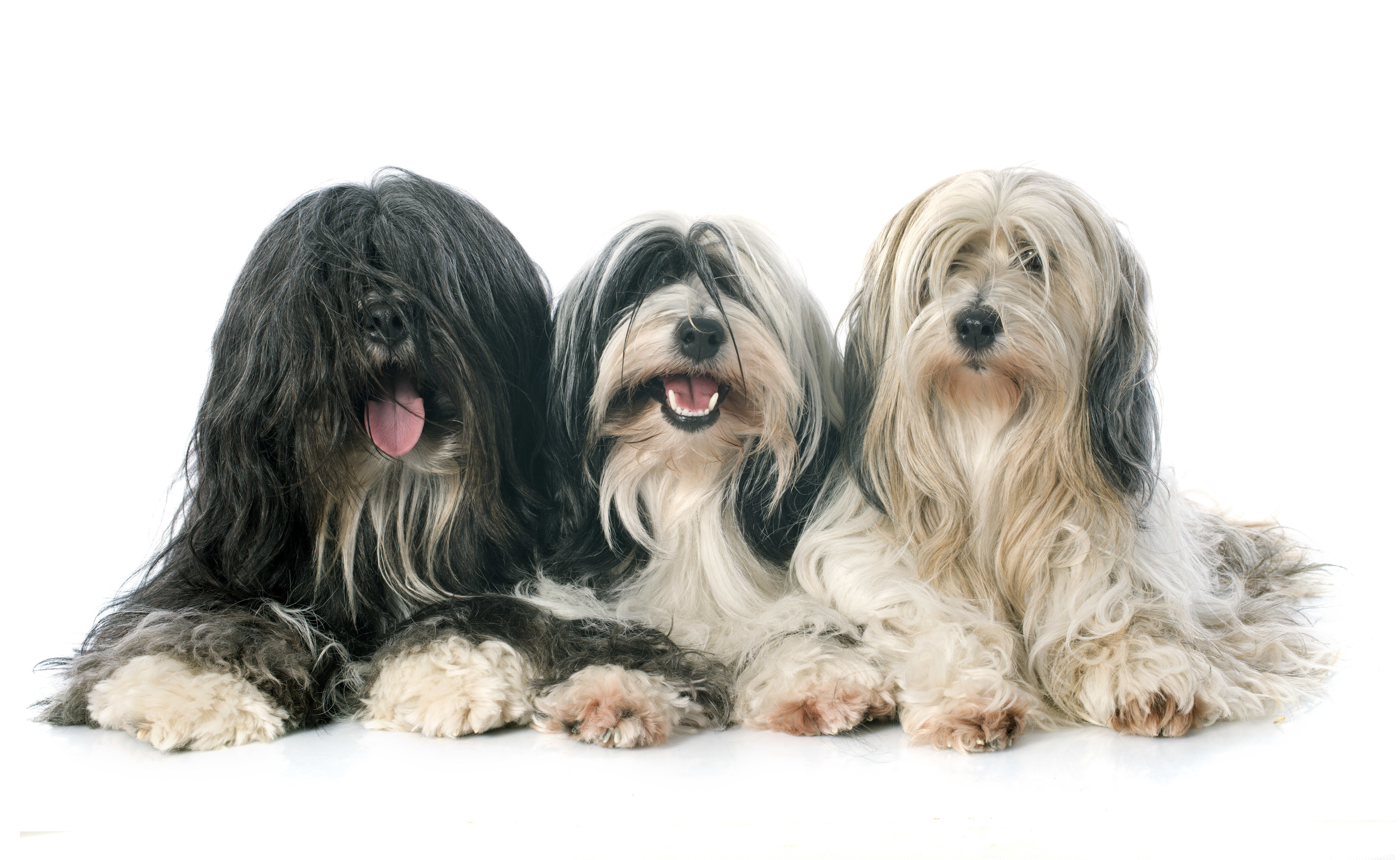 Three Tibetan Terriers lying down in front of a white background