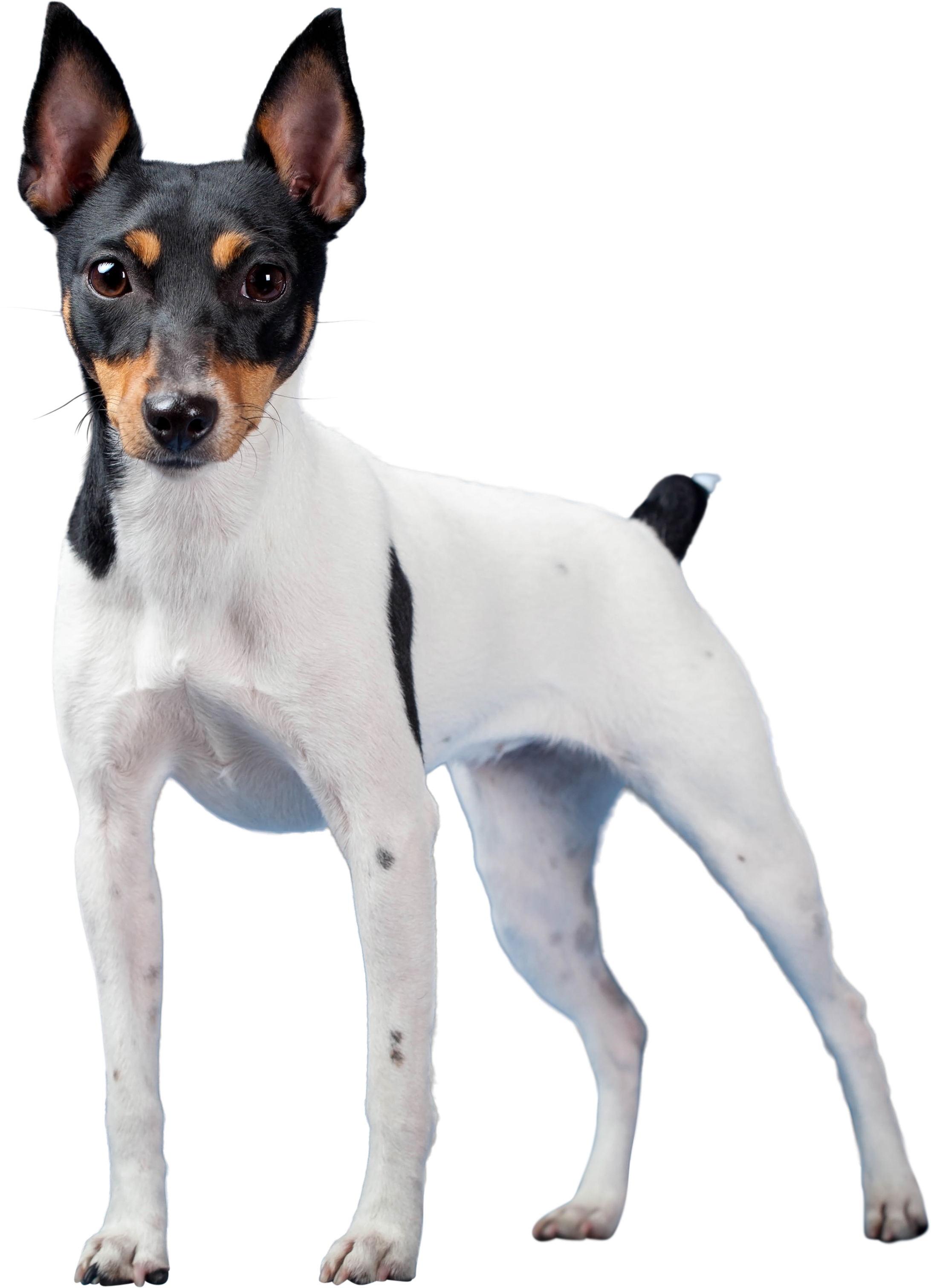 Toy Fox Terrier dog standing in front of white background