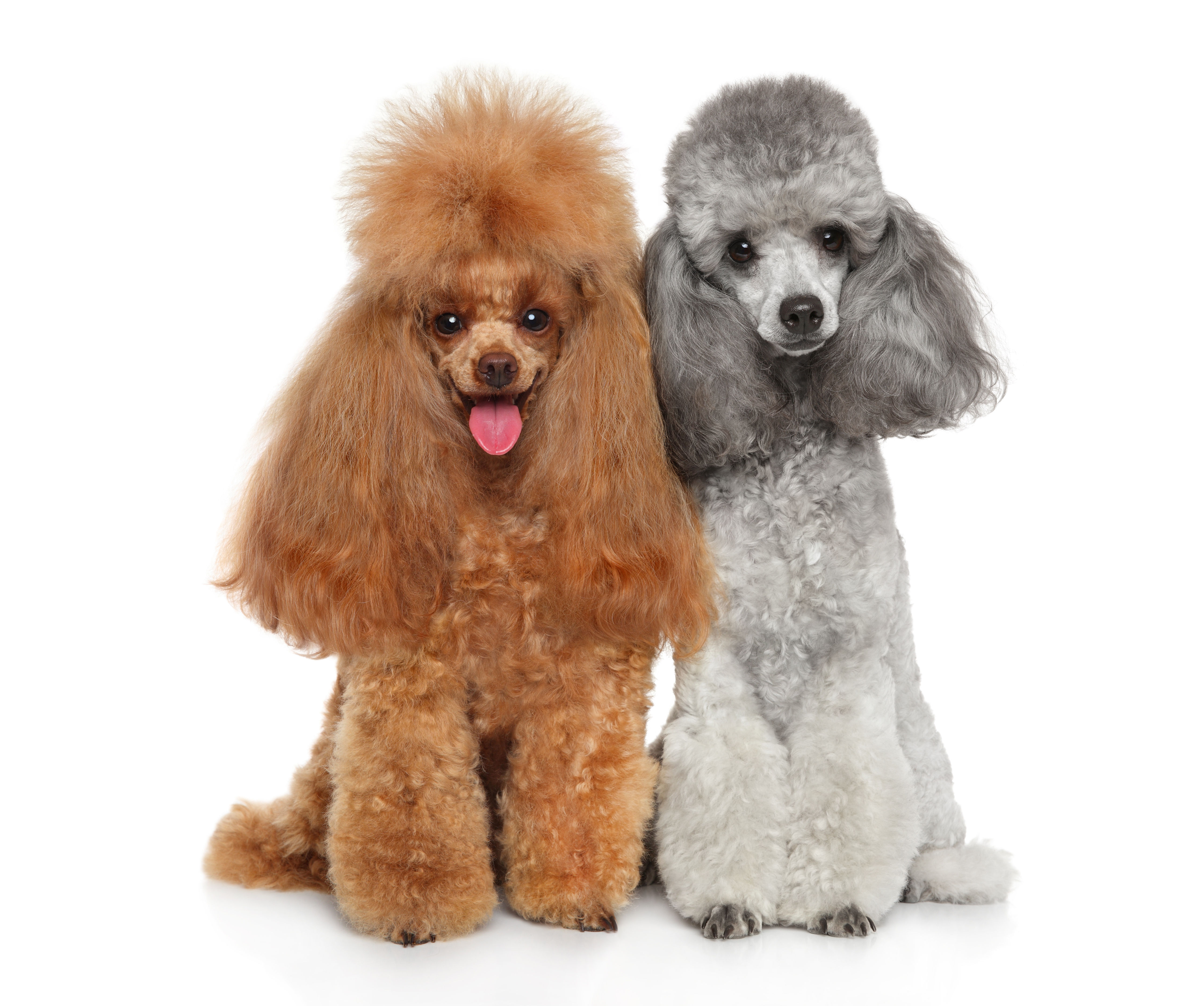Brown and gray Toy Poodles sitting against white background