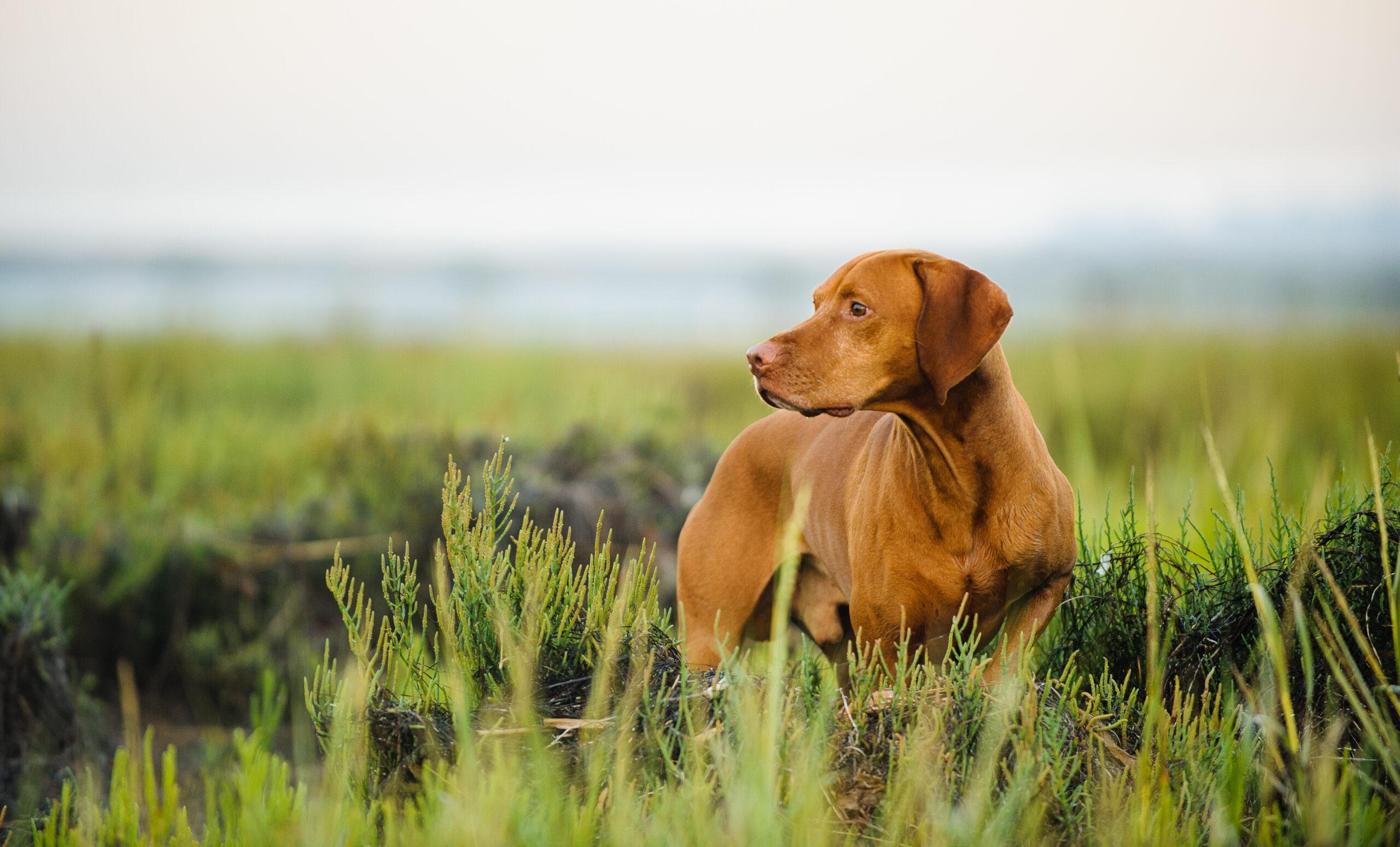 Vizsla dog standing in the tall grass of a field