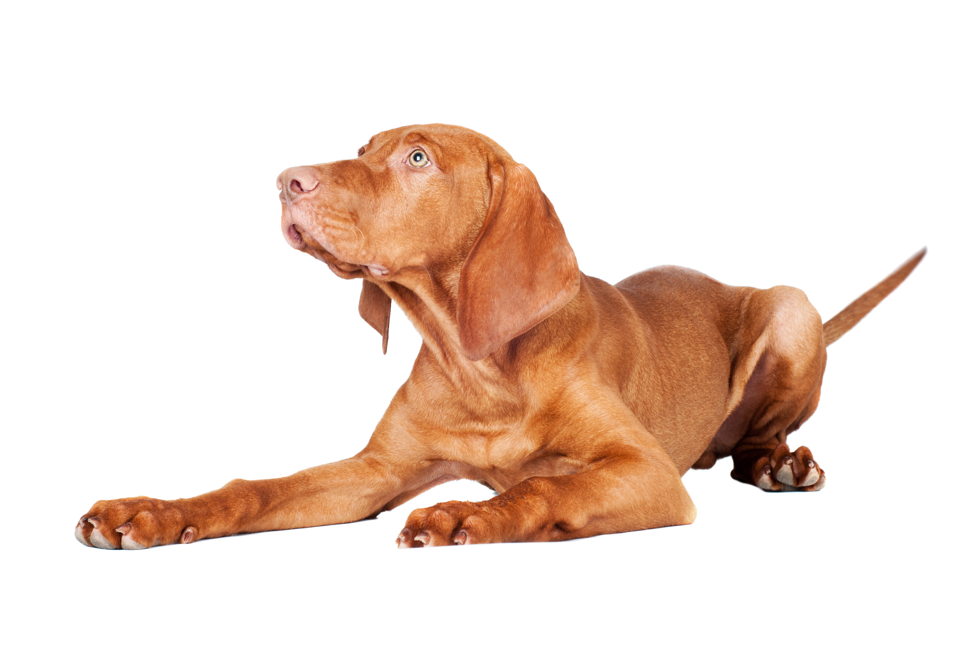 Vizsla dog lying down in front of white background