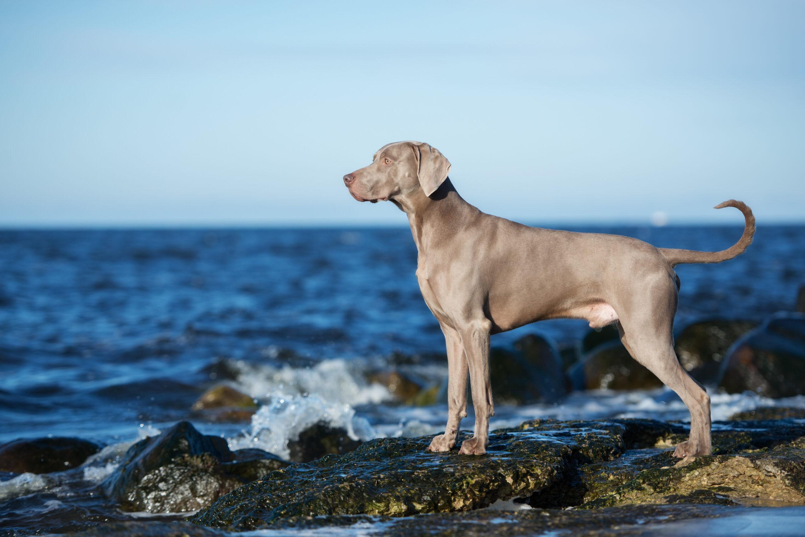 Weimaraner dog standing on rocks on the beach overlooking the ocean