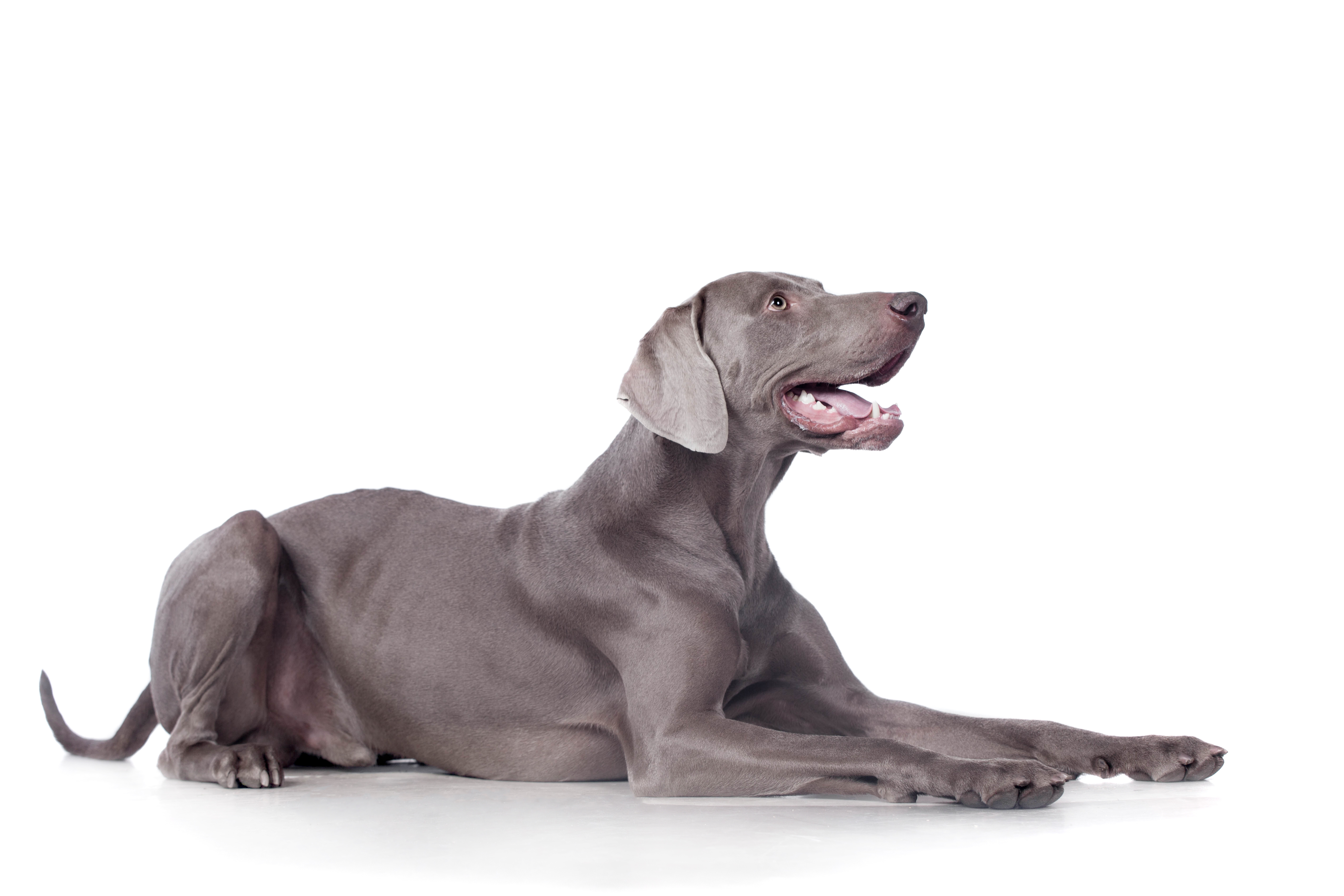Weimaraner dog lying down in front of white background