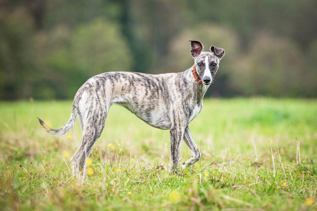 Whippet dog walking in grassy field.
