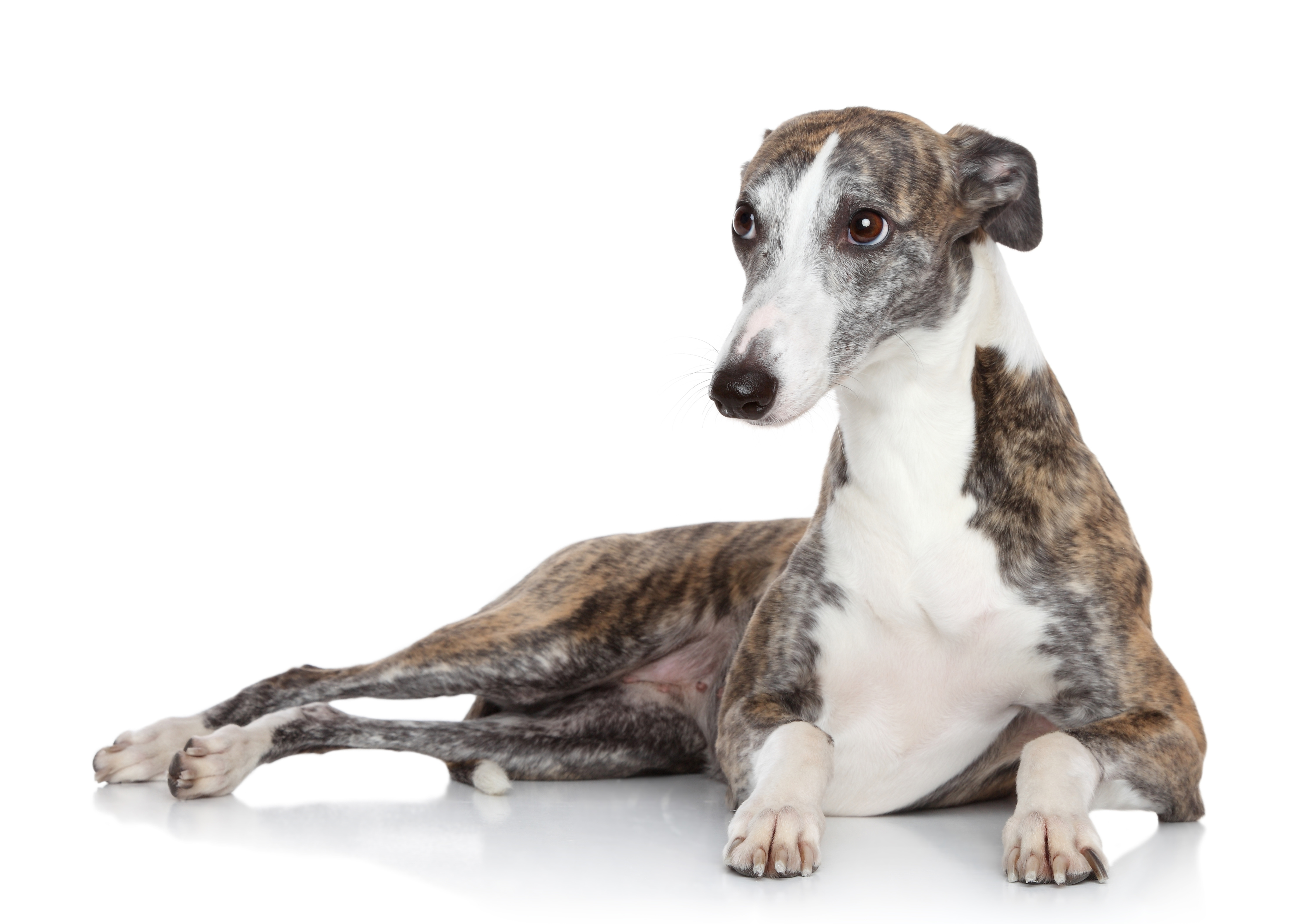 Whippet dog lying in front of white background