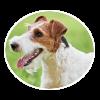 Wire Fox Terrier circle