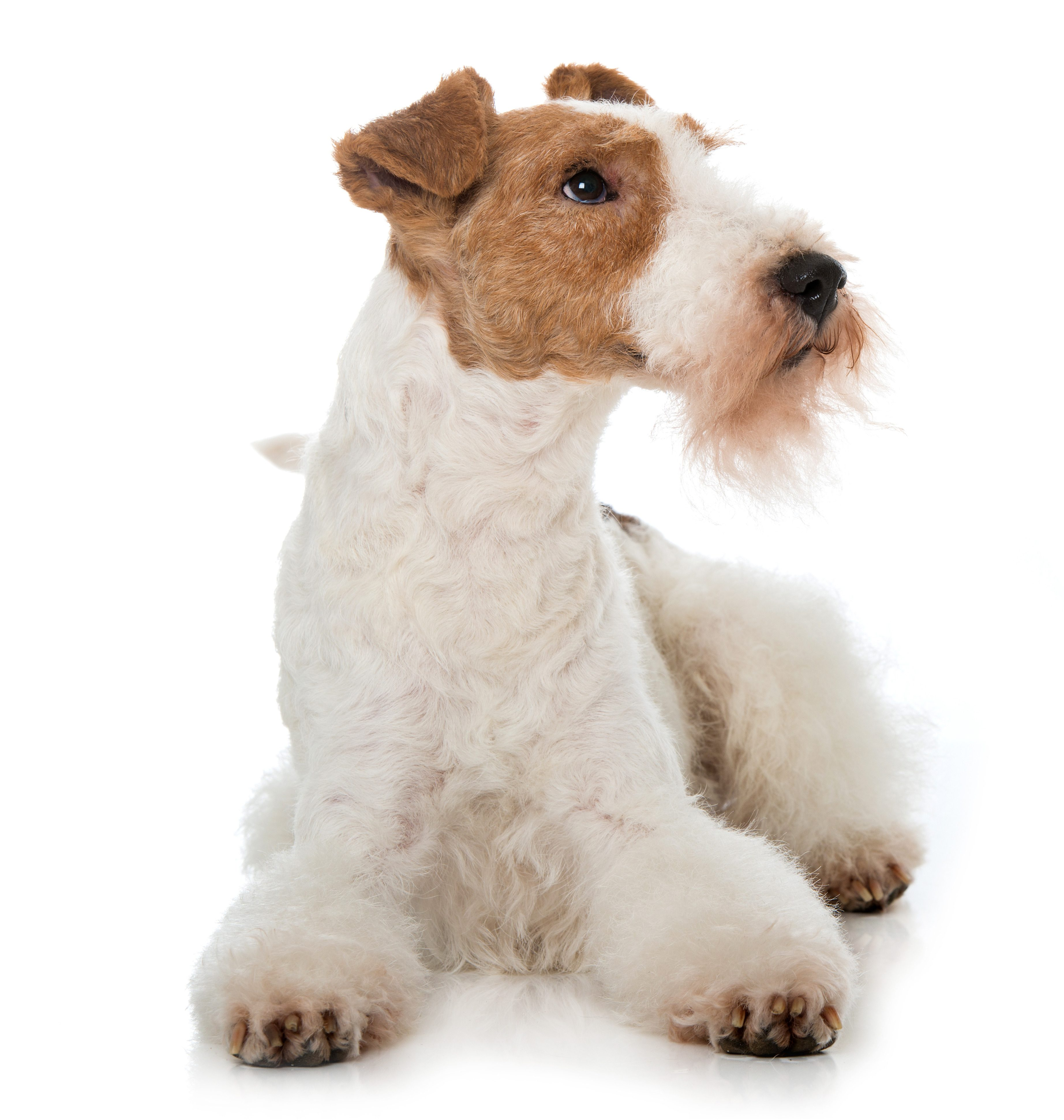 Wire Fox Terrier lying down in front of white background