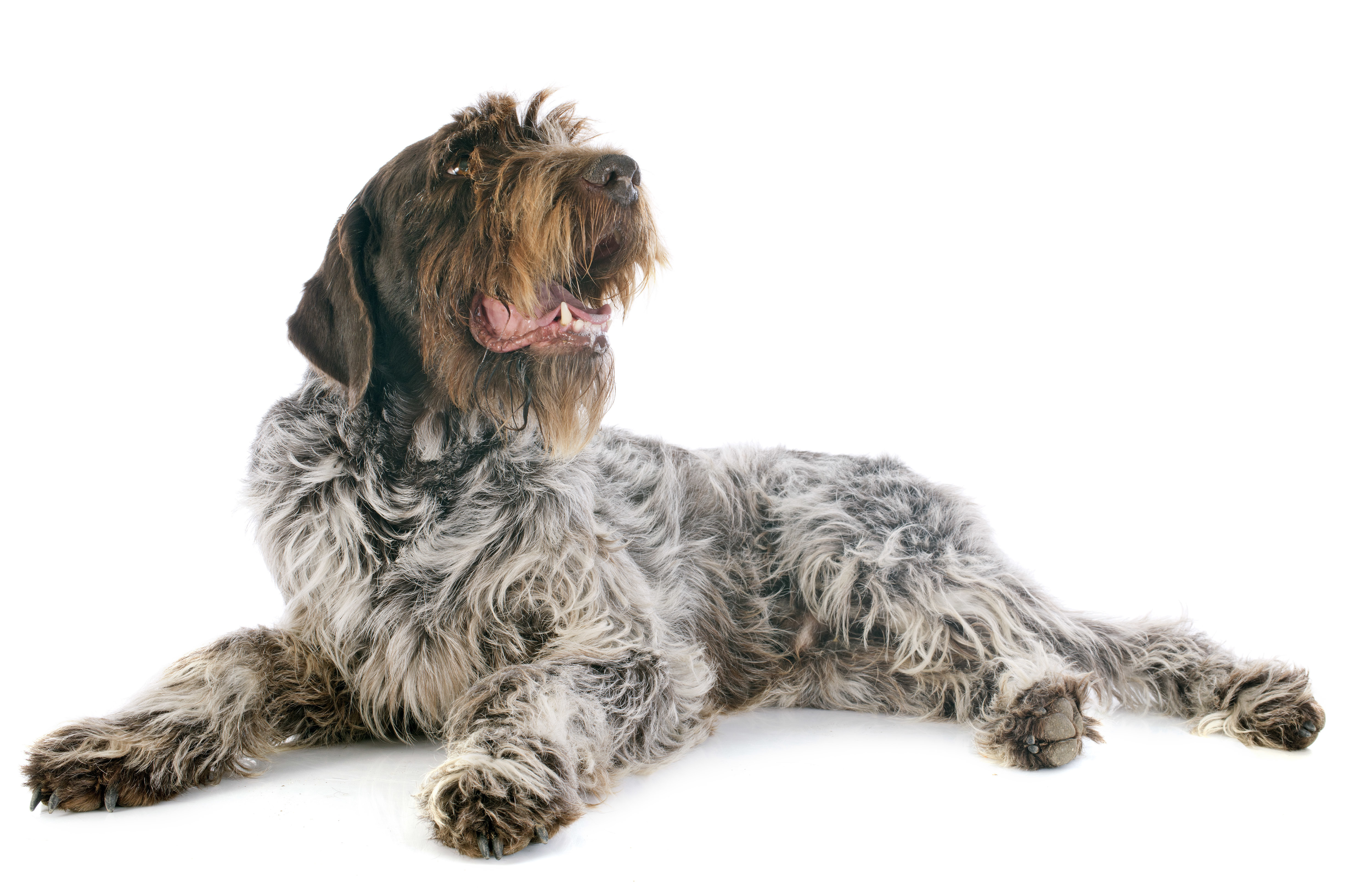 Wirehaired Pointing Griffon lying down in front of white background