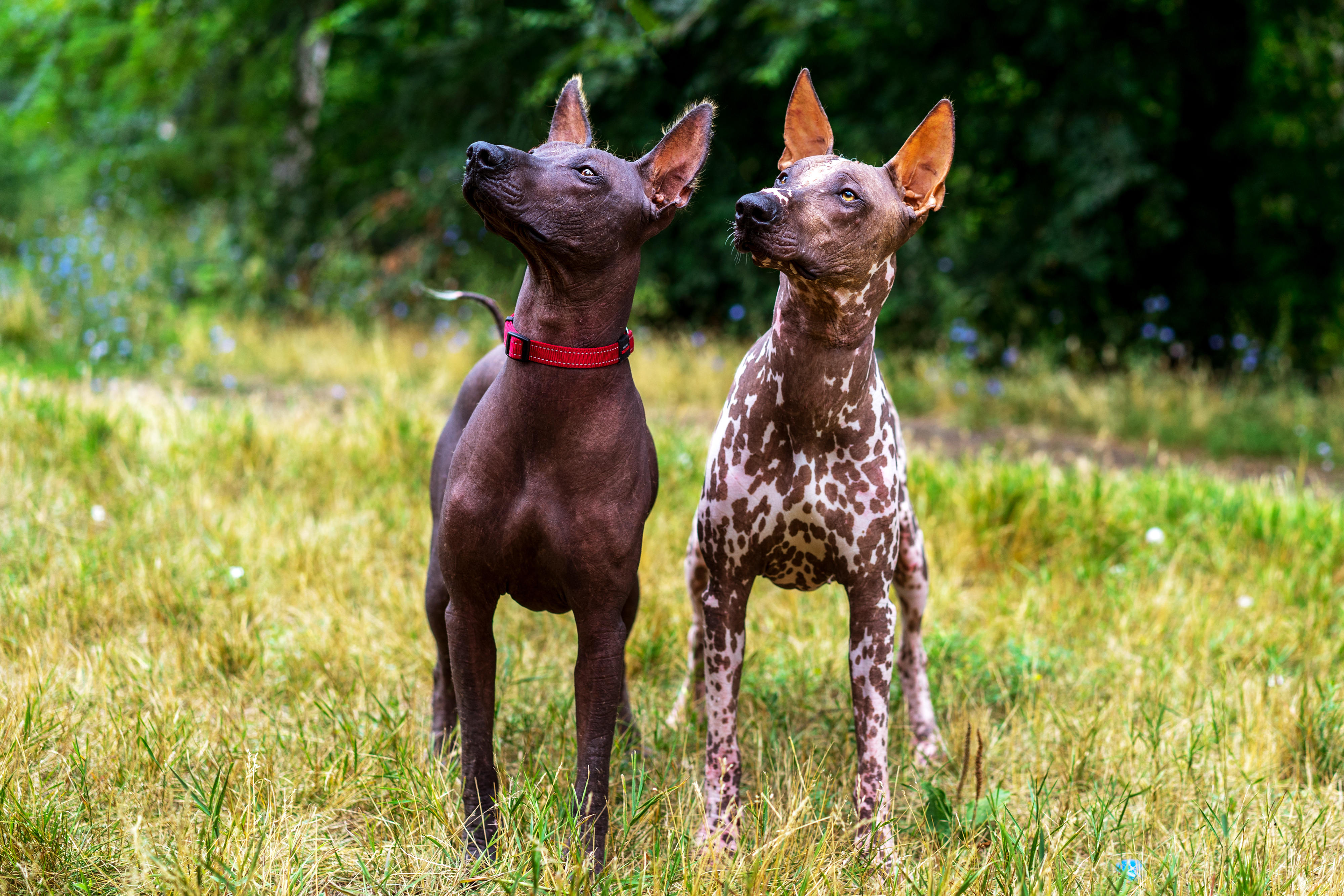 Two Xoloitzcuintli dogs standing in grass, both looking up to the left