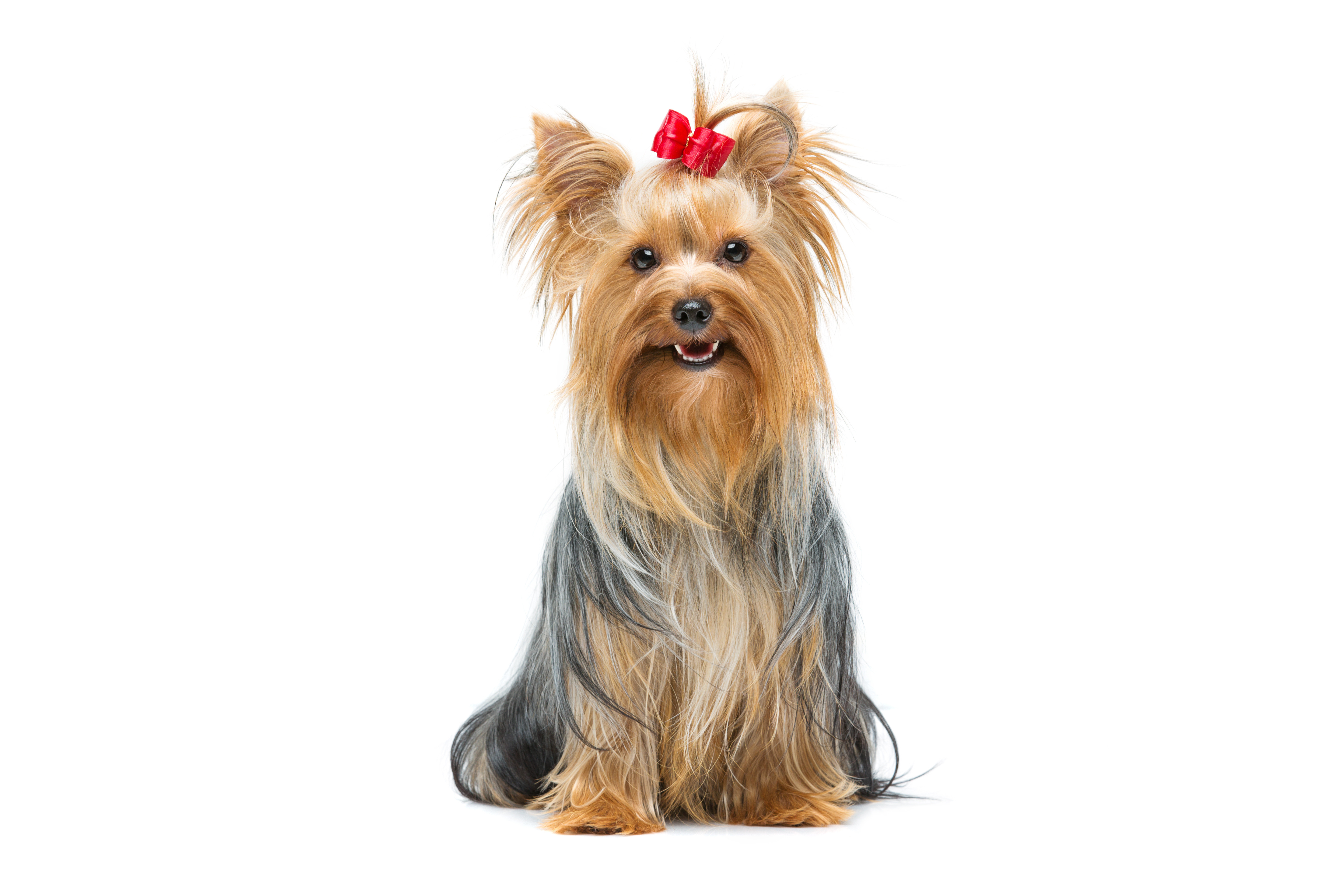 Yorkshire Terrier with bow sitting in front of white background