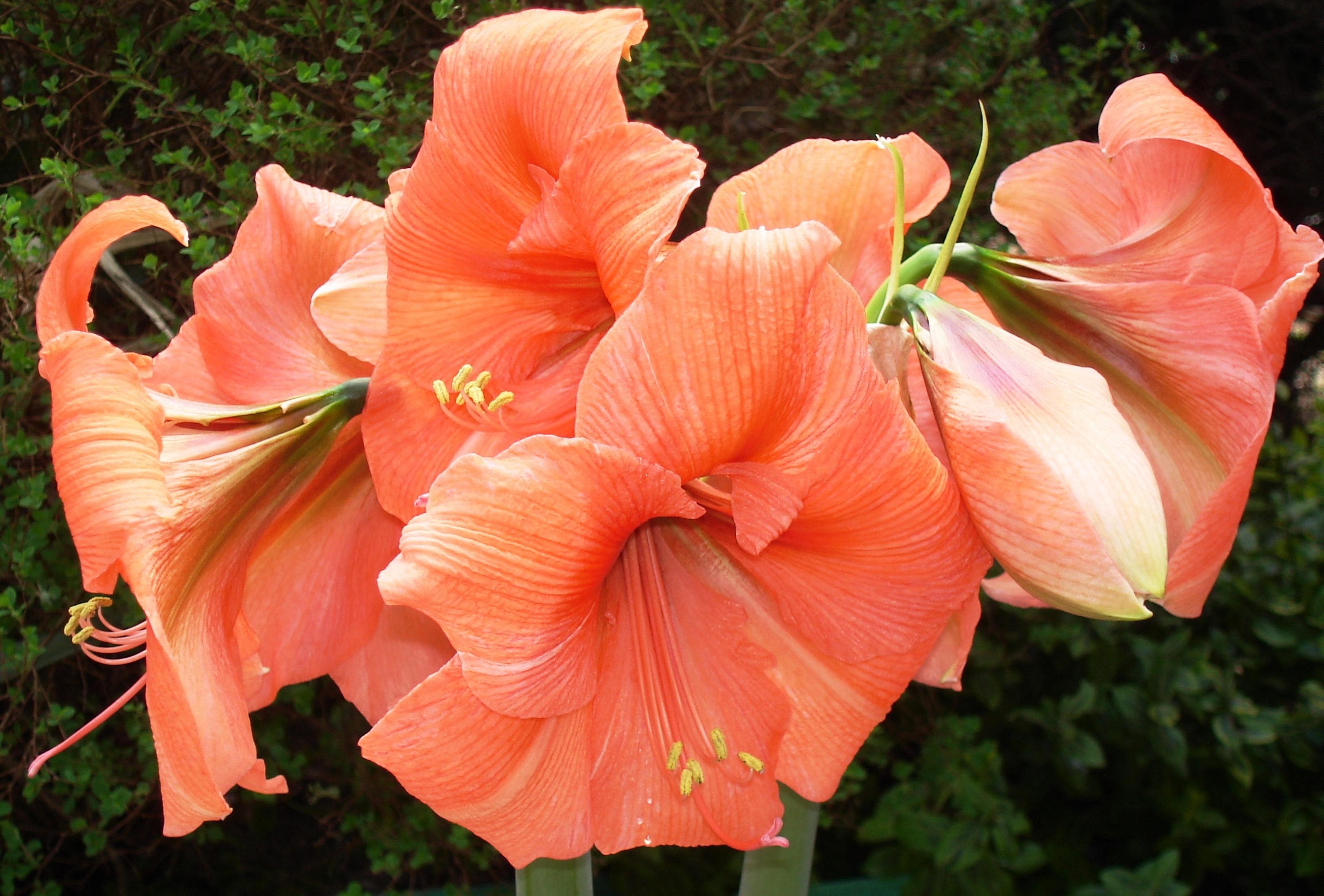 Orange pink amaryllis flowers blooming