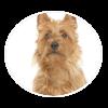 australian terrier circle