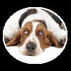 basset hound circle