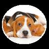 beagle circle