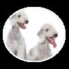bedlington terrier circle