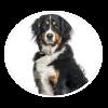 bernese mountain dog circle