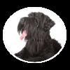 black russian terrier circle