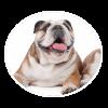 bulldog circle