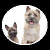 cairn terrier circle