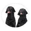 curly coated retriever circle