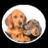 dachshund circle