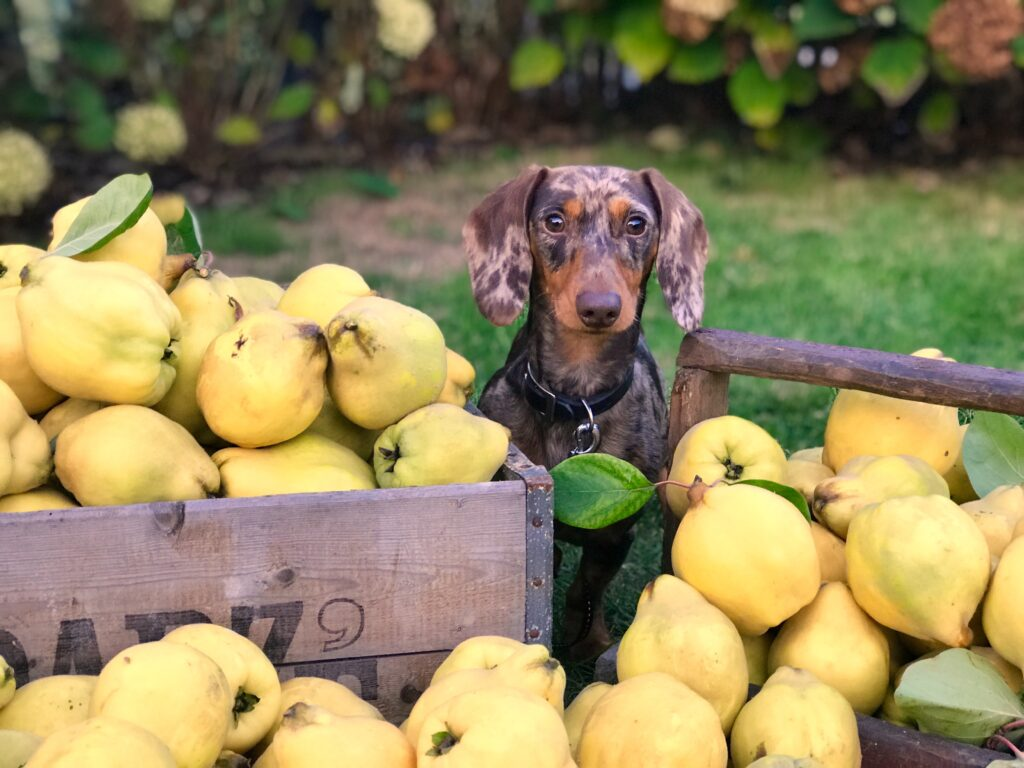 What's Your Mutt DNA Small merle dachshund dog sitting behind crates overflowing with pears