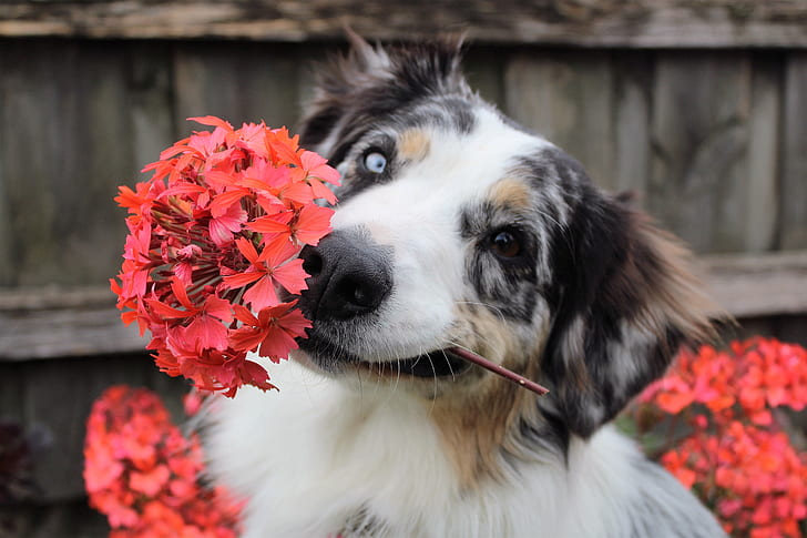 Mixed breed dog in the garden holding hyacinth flower in mouth