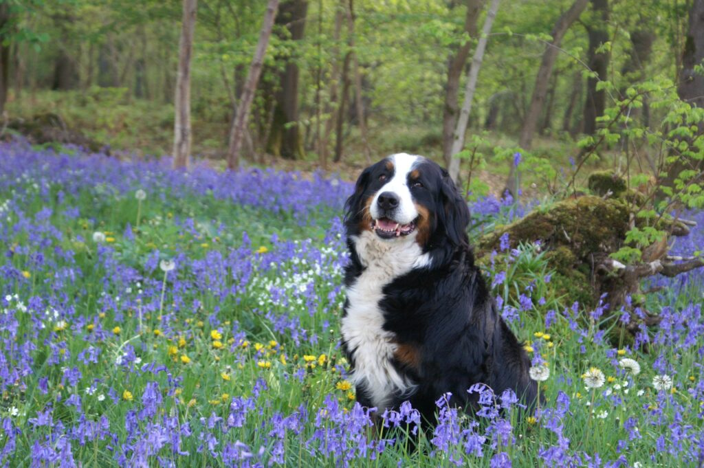 What's Your Mutt DNA A Bernese mountain dog sitting in a field of blue flowers