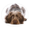 german wirehaired pointer circle